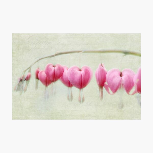 Bleeding Heart flowers Photographic Print