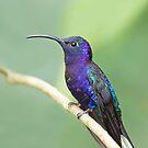 Violet sabrewing hummingbird - Costa Rica by Jim Cumming