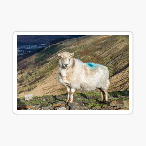 Proud Rhondda Sheep on the Bwlch y Clawdd Pass between Phondda and Ogmpore Vale in south wales Sticker