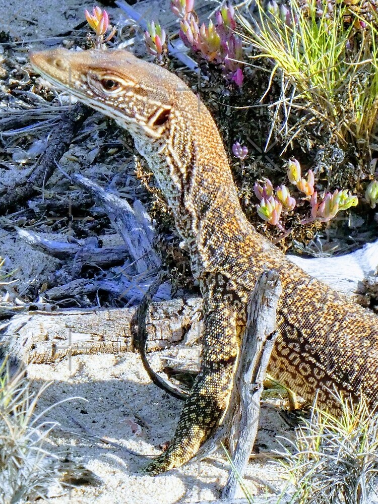 Perentie Australian Lizard by snibbo71