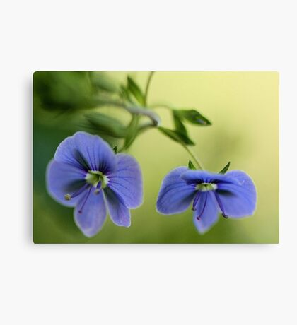 -Blue Speedwell Blossoms Canvas Print