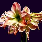A Lovely Pink and White Amaryllis by Susan Savad