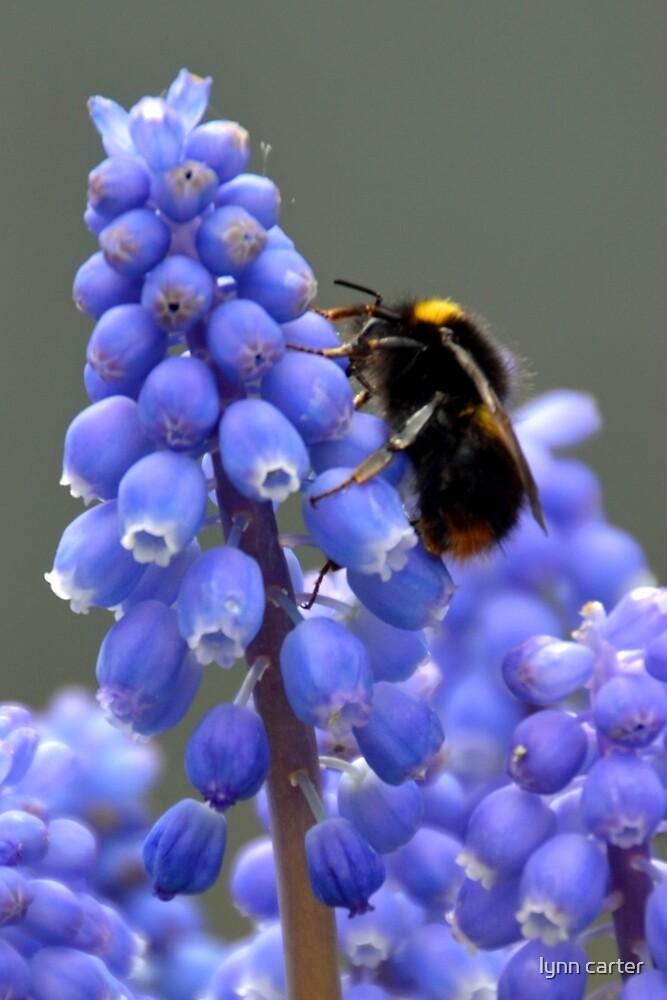 Bee On Grape Hyacinth....... by lynn carter