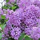 The Fragrance of Lilacs by Sandra Fortier