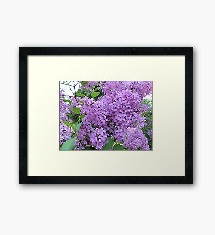 The Fragrance of Lilacs Framed Print