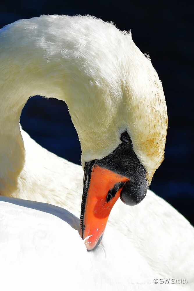 Cygnus Olor - Mute Swan | East Hampton, New York by © Sophie W. Smith