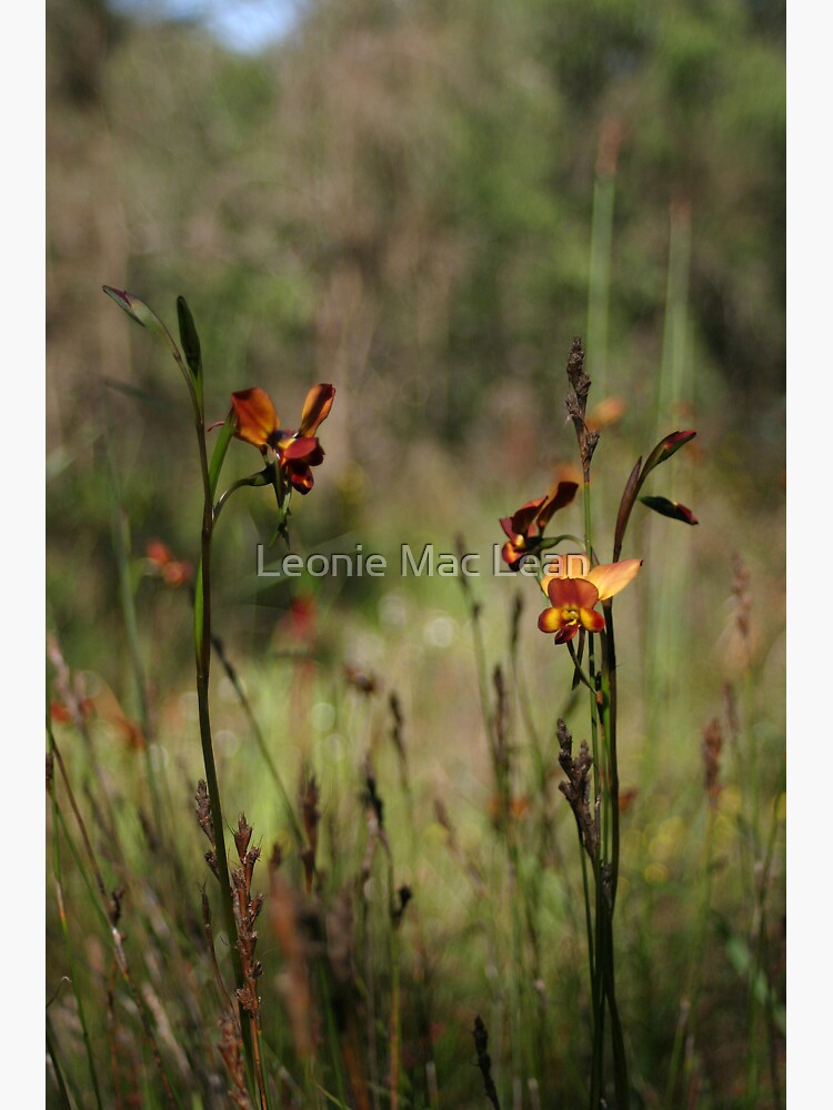Dunsborough Donkey Orchids and Grasses by yallmia