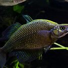 Glossolepis wanamensis by D Byrne