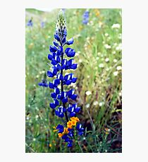 Spike Lupine Photographic Print