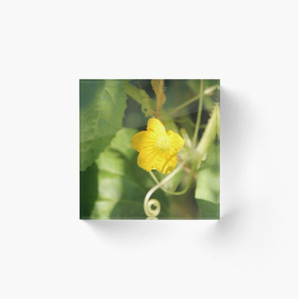 Yellow unnamed flower on a background of green leaves Acrylic Block