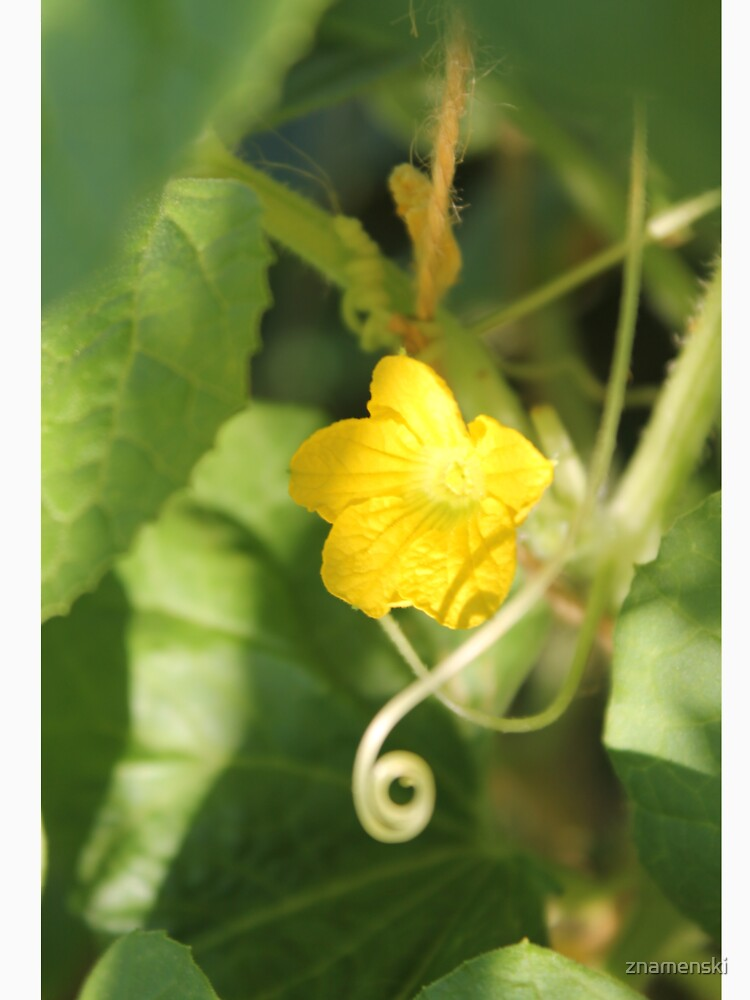 Yellow unnamed flower on a background of green leaves by znamenski