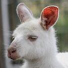 Albino kangaroos by Kathryn Potempski