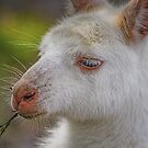 Albino kangaroo by Kathryn Potempski