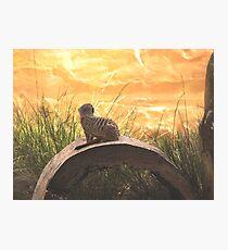 Taronga Zoo Meerkat Photographic Print
