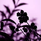 raindrops and hedge berries (purple) by dedmanshootn