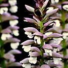 Acanthus mollis  by Barbara Caffell