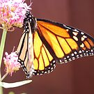 Monarch Butterfly by Barbara Caffell