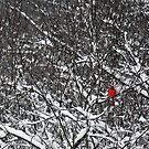 Cardinal  by Melody Ricketts