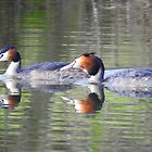 Great crested grebes by StudioCorvid