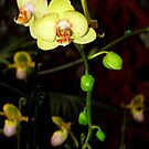 A Moth Orchid Flower in Bloom by Jason Pepe
