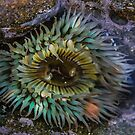 La Jolla Anemone by Heather Friedman