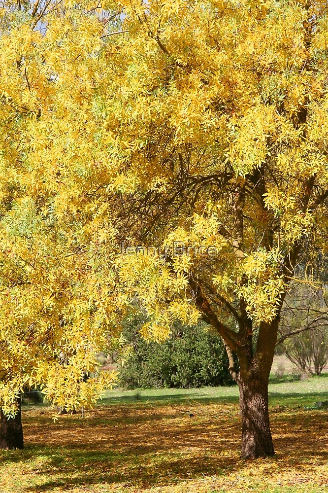 Quot Golden Ash Tree In Autumn Quot By Jenny Brice Redbubble