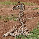 Young Giraffe by Jenny Brice