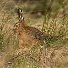 Brown Hare by M S Photography/Art