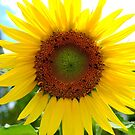Sun Flower  by Mark Batten-O'Donohoe