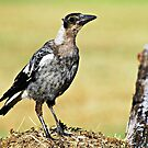 Young Magpie by Jenelle  Irvine