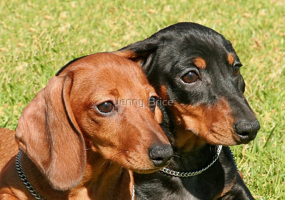 Two Miniature Dachshunds by Jenny Brice