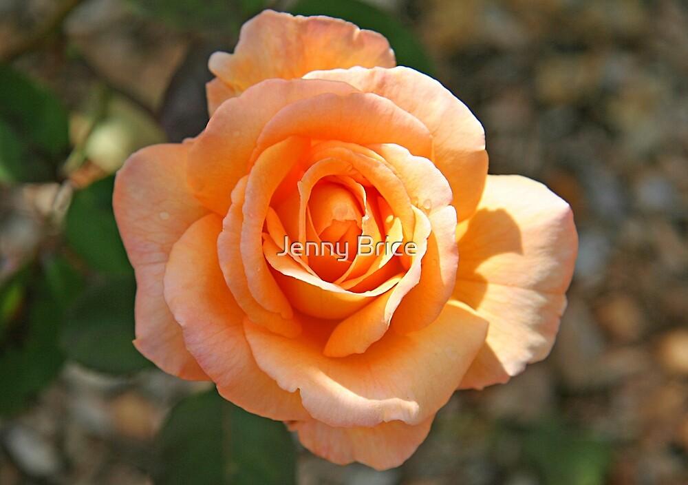 Apricot Rose by Jenny Brice