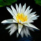 White Water Lily and Reflection by cclaude