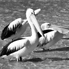 Pelicans by adbetron
