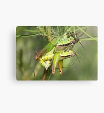 Mating Short Horned Grasshoppers Metal Print