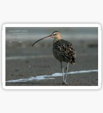 Long-billed Curlew Sticker