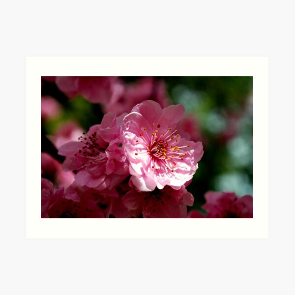 Blossom, Sweet in the Morning Art Print