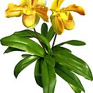 Two Yellow Lady Slipper Orchids by Susan Savad