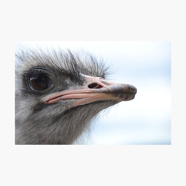 ostrich obsession Photographic Print