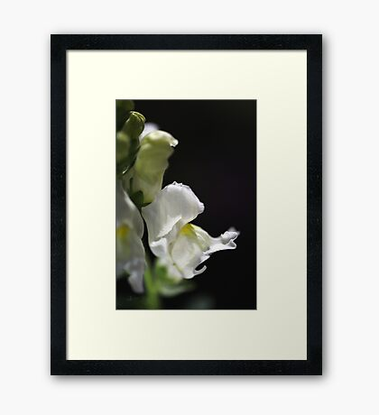 White Snapdragon Flower Framed Print