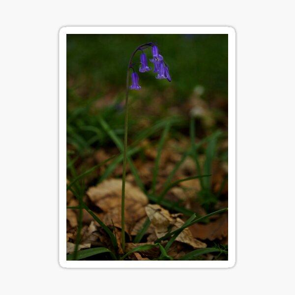 Single Bluebell in Prehen Woods, Derry Sticker
