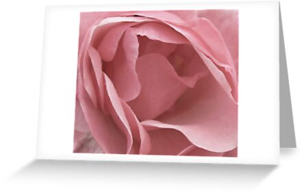 DUSKY PALE PINK ENGLISH ROSE by Richard Brookes