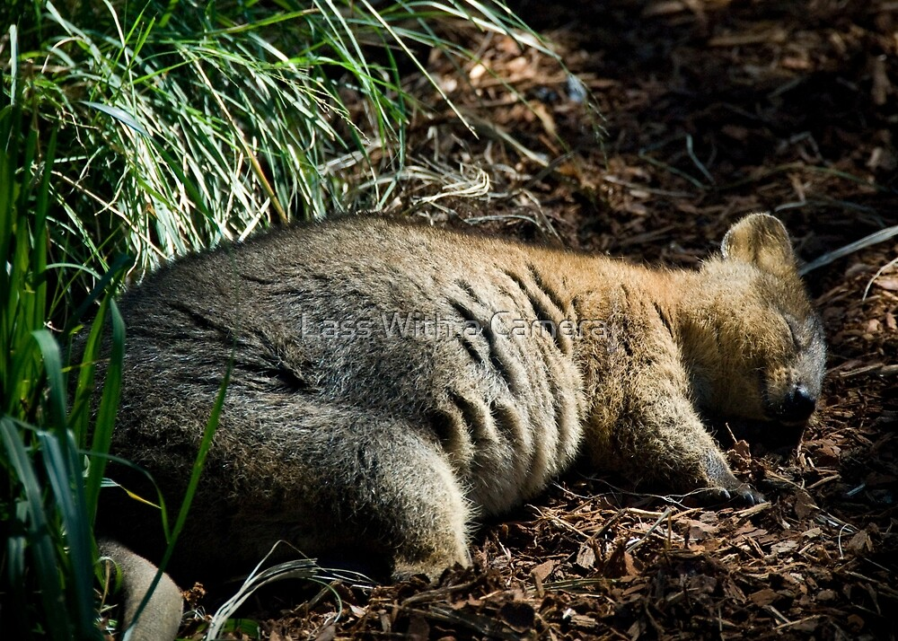 Dreaming Quokka by Lass With a Camera