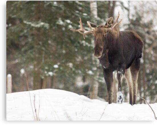Bull moose in winter by Josef Pittner