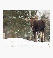 Bull moose in winter Photographic Print