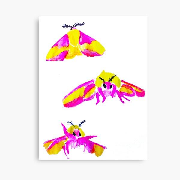 Rosy Maple Moth Canvas Print