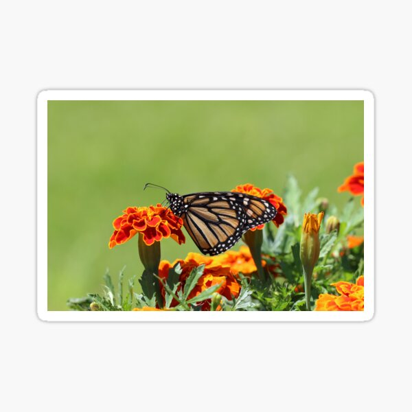 The butterfly on nature  Sticker