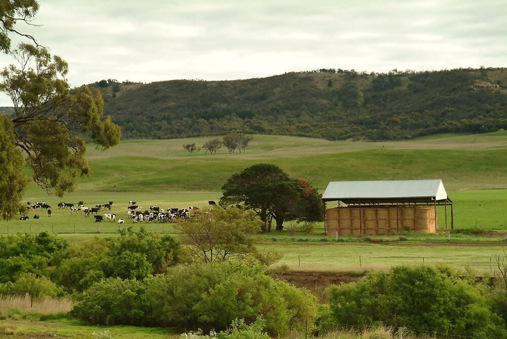 Joe Mortelliti Gallery - Grazing cattle, Rowsley valley, near Bacchus Marsh, Victoria, Australia. by thisisaustralia