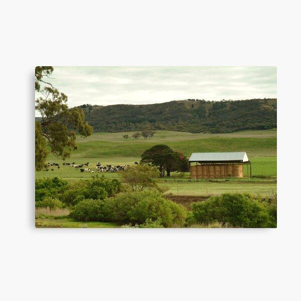 Joe Mortelliti Gallery - Grazing cattle, Rowsley valley, near Bacchus Marsh, Victoria, Australia. Canvas Print