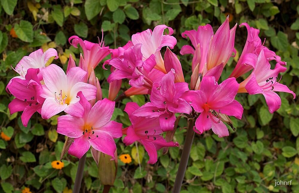 Belladonna (beautiful lady) flowering. by johnrf